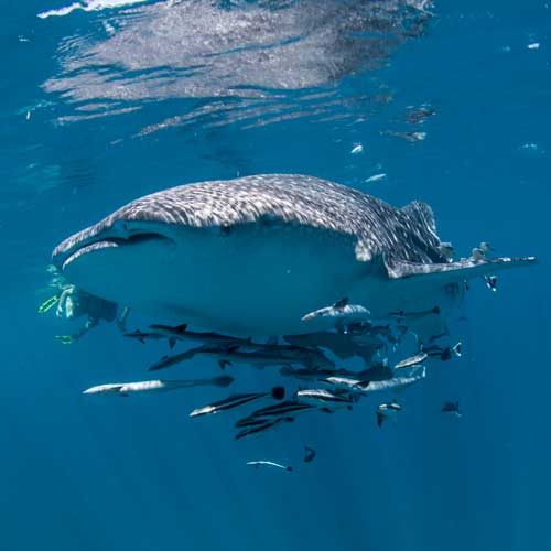 Scuba diving with whale sharks in Koh Tao